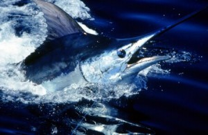 Blue Marlin Fishing Charters