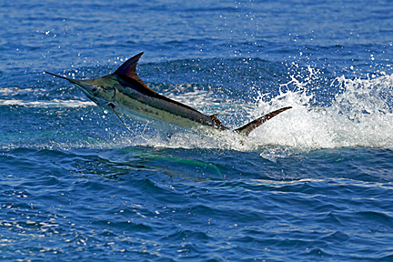 cape verde blue marlin fishing