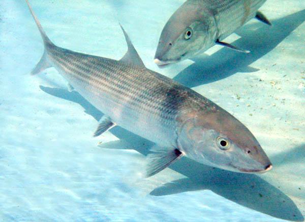 Bonefish Fishing Caribbean