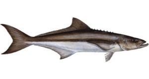 what is a cobia fish