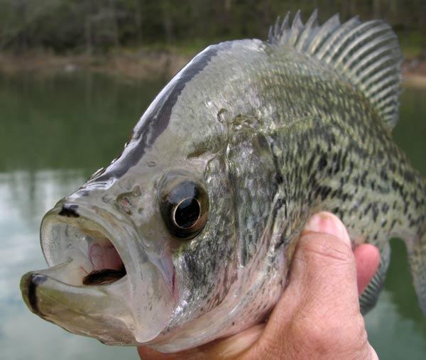 Crappie Fishing