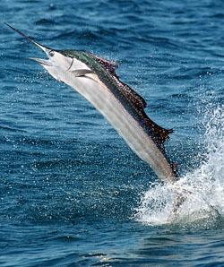 Florida Keys Sailfish Fishing Charters