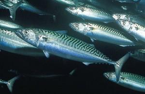 Mackerel Fishing Charters