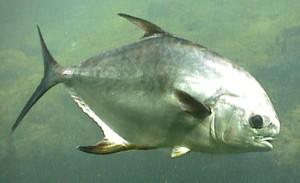 Pompano Fishing Charters