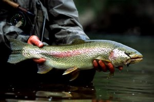 Rainbow Trout Fishing