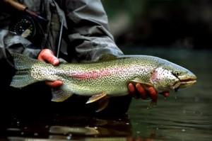 Rainbow Trout Fishing