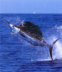 Sailfish Fishing techniques