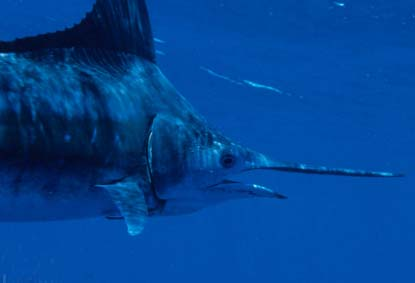 Swordfish Fishing