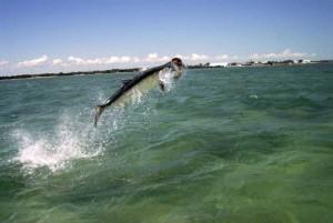 atlantic tarpon - pound for pound best fighting inshore gamefish