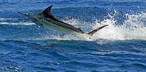 Blue Marlin Greatest Big Game Fish