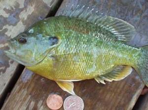 Sunfish Fishing