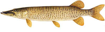 Lake of the Muskie fishing guides