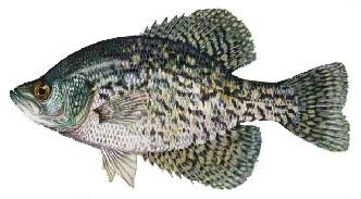 Lake of the Woods Crappie fishing guides