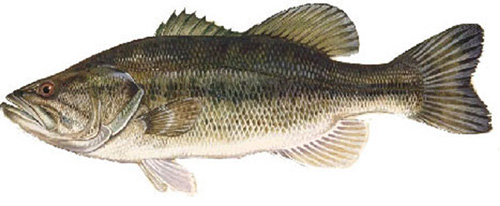 Lake of the Woods Largemouth Bass fishing guides