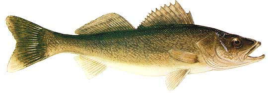 Lake of the Woods Walleye fishing guides