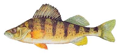 Lake of the Woods Yellow Perch fishing guides