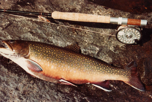 brown trout maine fishing guides & charters