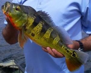 Gatun Lake Peacock Bass Fishing