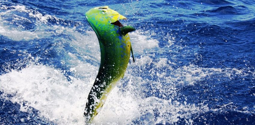 mahi mahi deep sea fishing