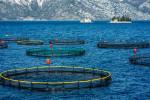 Fish Farming: Do the Pros Outweigh the Cons?