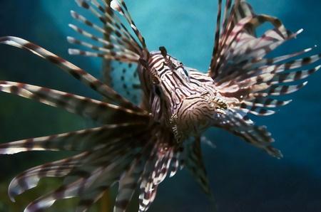 invasive florida lionfish