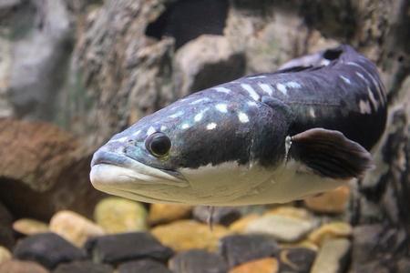invasive snakehead fish conservation