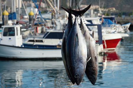 fishing boats unloading tuna at harbor, Canary Islands
