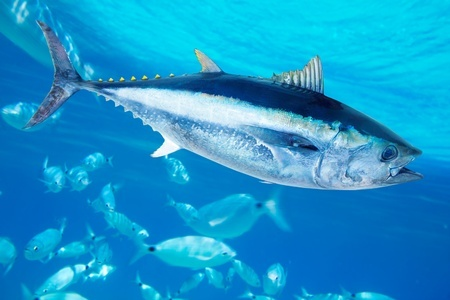 bluefin fishing in mediterranean