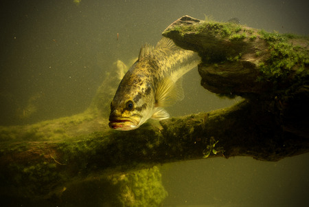 largemouth bass ready for ambush near structure