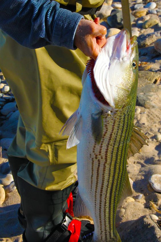 surf fishing striped bass on Cape Cod
