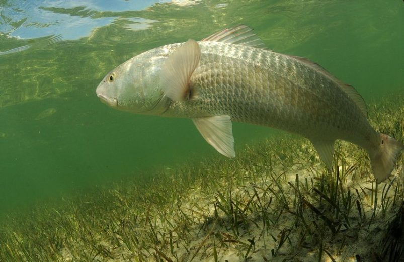 redfish locations and seasons