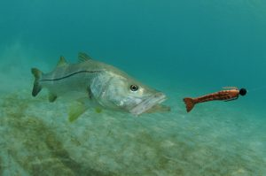 snook - number 5 of top 10 inshore gamefish