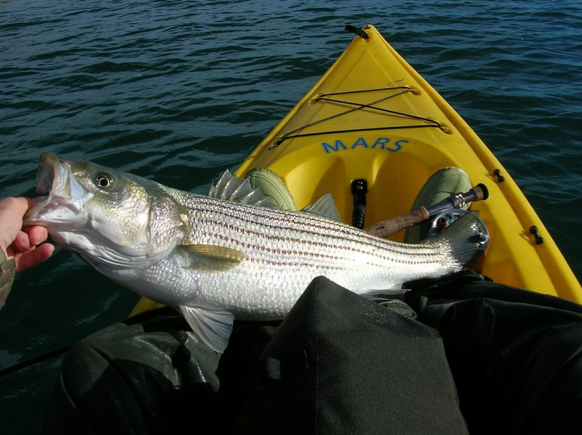 saltwater striped bass fishing from a kayak