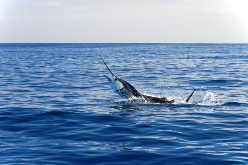 sailfish fishing 101 - sailfish facts