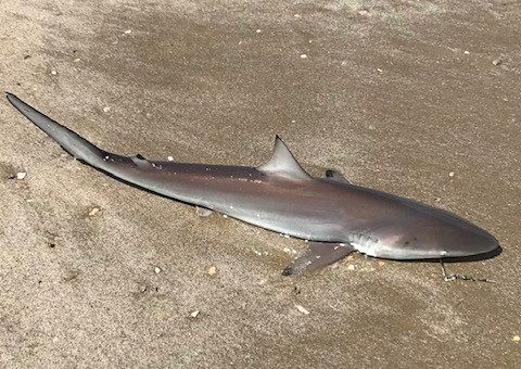 surf fishing for blacktip shark
