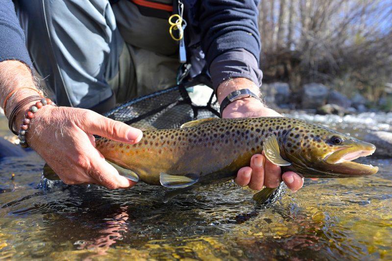 chattahoochee river brown trout
