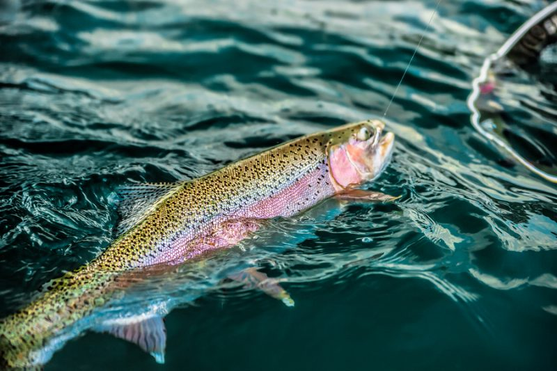 fishing with lure for spring rainbow trout
