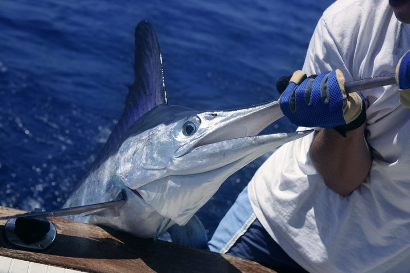 white marlin fishing in st. lucia