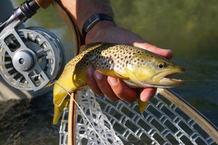 Brown trout fly fishing in the Black Hills, South Dakota