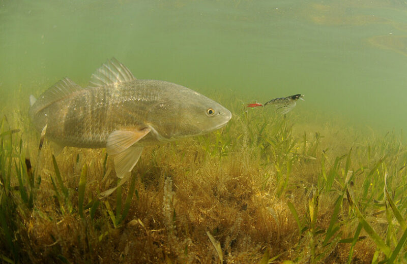redfish chasing artificial shrimp lure in seagrass