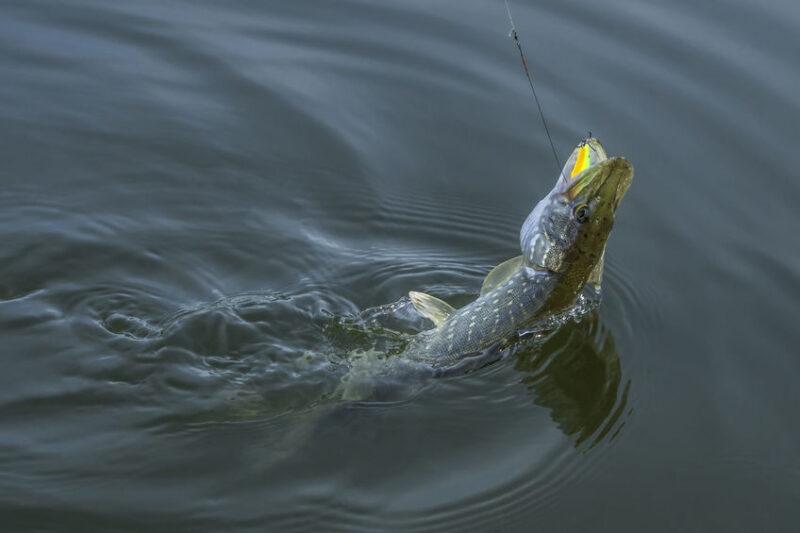 pike caught trolling in lake