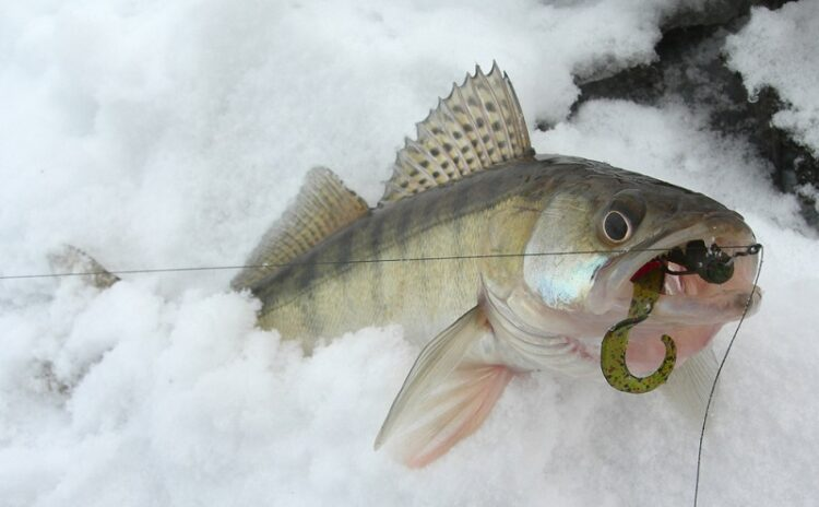 Winter Walleye Fishing: Adapting to Changes With Simple Strategies